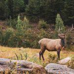 11 -Elk