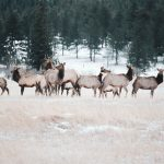 20 - herd of elk